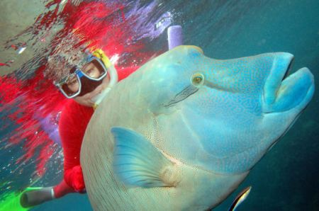Swimming with a Maori Wrasse on the Great Barrier Reef